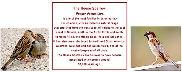 The House Sparrow m