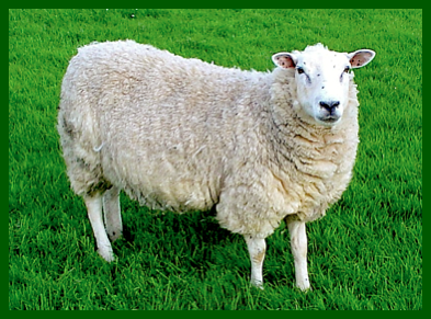 A Sheep on grass f
