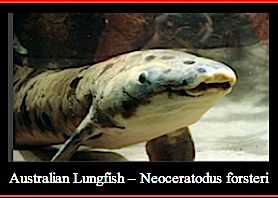 Aust.Lungfish