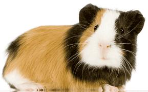 Image of Guinea Pig
