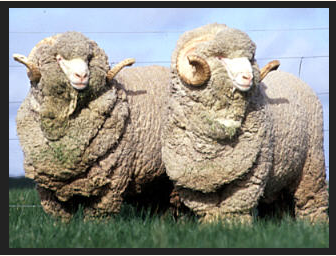 image of sheep ss