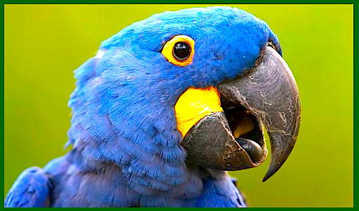 Hyacinth macaw's head