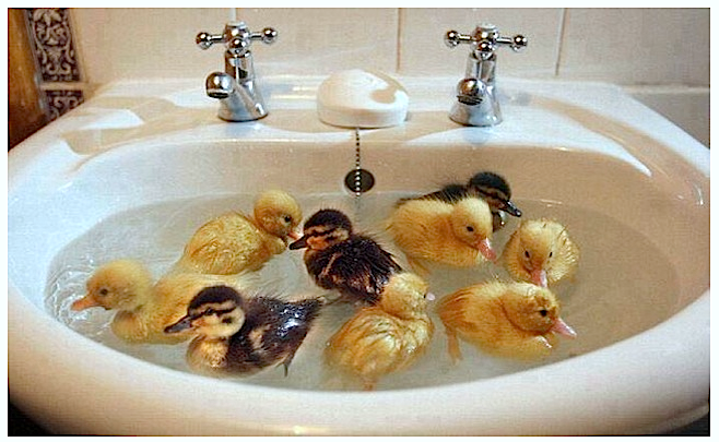 Ducklings swimming in basin